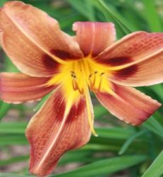 Kit 05 Mudas - Hemerocallis 12